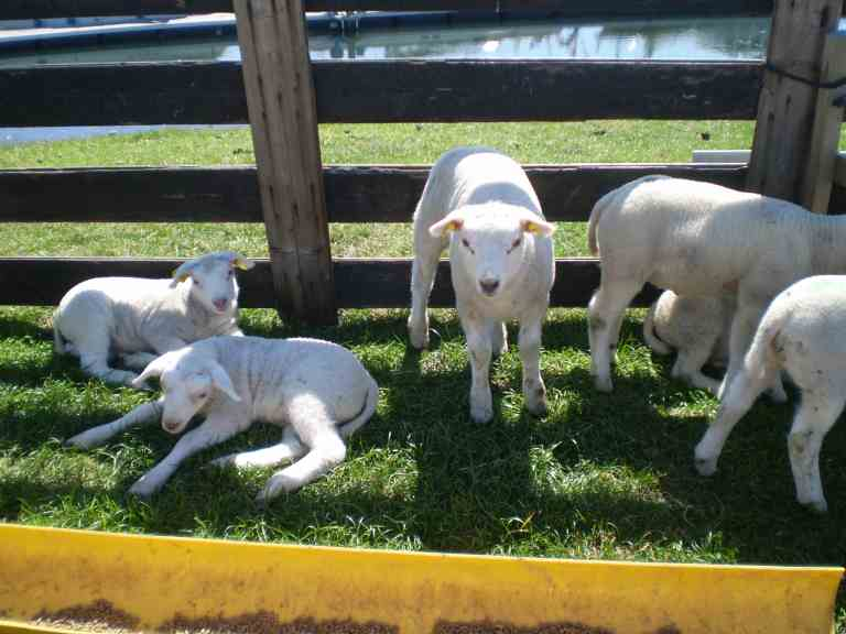 Lambs on Texel Island, Noord Holland